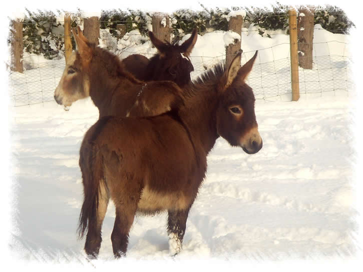 Miniature Mediterranean Donkeys in snow at the donkey stud of Surrey Family Pets, near Weybridge Surrey