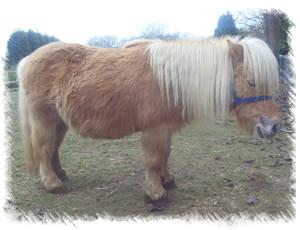 Surrey Stud Miniature Shetland Ponies Foals For Sale Surrey