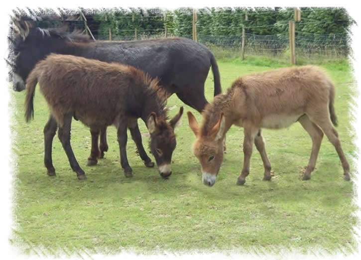 Hoals Rio and Benson - Miniature mediterannean Donkeys Bred by Surrey Family Pets