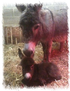 Foal Magic Maddie - Breed Miniature Mediterranean Donkey - with Jenny (Mother)