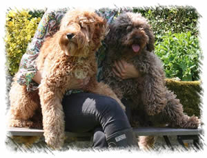 Breed: Australian Miniature Labradoodles - Ludo & Tatty