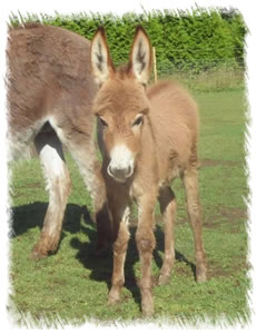 Rio - Red coated Miniature Mediterranean Donkeys