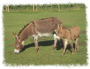 Miniature Mediterranean Donkeys - Rio with mother Rose