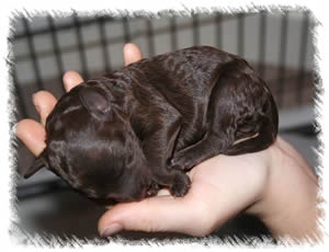 Breed: Australian Miniature Labradoodles - Our breeding labradoodle Tallulah as a puppy 1 week old