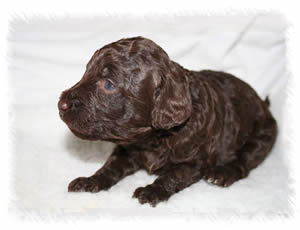Breed: Australian Miniature Labradoodles - Our breeding labradoodle Tallulah as a puppy 3 weeks old
