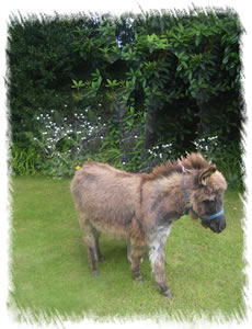 Tiny Tansie - Breed: Miniature Mediterranean Donkey at the stud of Surrey Family Pets, near Weybridge Surrey