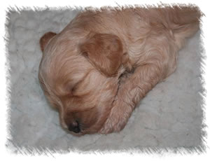 Breed: Australian Miniature Labradoodles - Our breeding labradoodle Tinkerbell as a puppy 1 week old